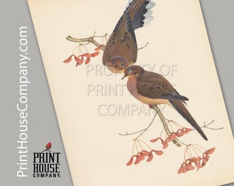 Bird, Vintage Dove Print, by Athos Menaboni, Natural history bird art, Ornithology