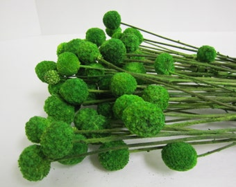 "Craspedia - Billy Balls - Billy Buttons - Emerald Green -- set of 12  -- Preserved  -- 8"" long"