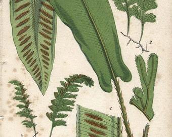 150 Year Old BOTANICAL CHROMOLITHOGRAPH Plate 15 Hartstongue and Film Ferns 1859 Thomas Moore British Ferns
