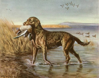 Chesapeake Bay Retriever Vintage Illustration - Edwin Megargee - 1940s Original Page - Duck Hunting