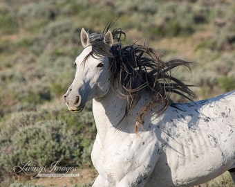 Adobe Grey Stallion Runs - Fine Art Wild Horse Photograph - Wild Horse - Adobe Town