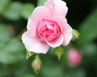 Pretty in Pink Petaled Rose
