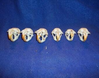 Real Animal Bone Muskrat skull taxidermy head Part
