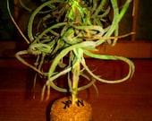 Tillandsia air plant - party favor - kitchen window plant - Cork