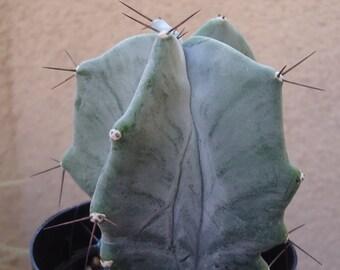 Large Gray Ghost Cactus Stenocereus Pruinosis