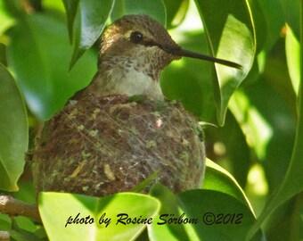 Hummingbirds, card no. C5823