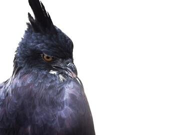 Bird of prey Blyth Hawk Eagle photography print - bird photograph - bird photo - whimsical bird art - nature photography - bird artwork