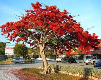 Heirloom 10 Seeds Delonix regia Shrub Flame tree Royal Poinciana Tree flamboyant Perennial Flower T006