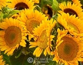 FARMERS MARKET SUNFLOWERS, an original fine art photograph of sunflowers in bloom