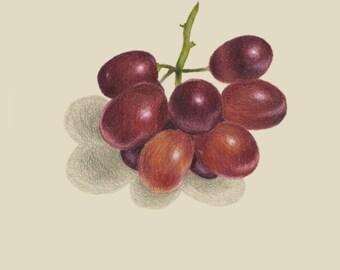 Grapes Drawing print