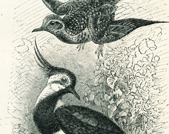 Bustard print coot ruff wading birds print : Antique 19th century engraving cottage decor old book plate natural history gift for bird lover