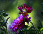 Eye Popping Colors, Flower Photograph  Dazzling Magenta and Mauve Dahlia captured with great light , texture and movement.