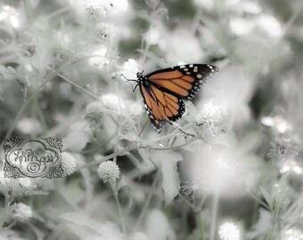 Monarch Butterfly - Fine Art Photograph Print Picture