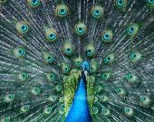 8x10 Beautiful Peakock, blue green, animals, birds,delicate, sof feathers