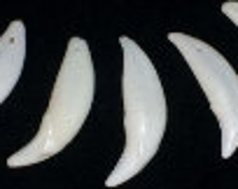 Coyote Canine Teeth drilled 12, 24 or 50 pendants necklaces regalia taxidermy