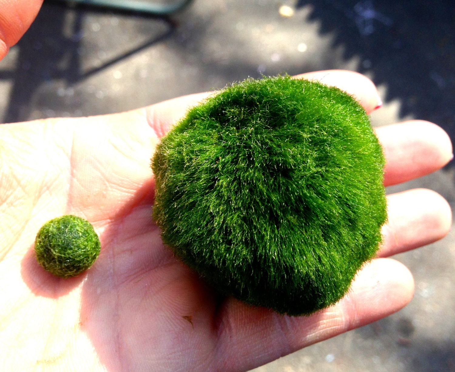 Xl giant marimo moss ball 2 1 2 inches and by for Moss balls for fish tanks