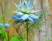 50% off! Love in a Mist, Unusual Flower Seeds, Attract Butterfies, 25 Seeds