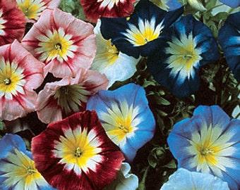 Heirloom Seeds - Convolvulus Enchantment Flower Garden Mix, 10 Seeds