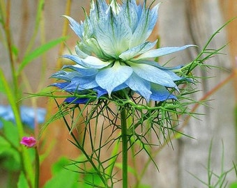 Love in a Mist, Unusual Blue Flower Seeds, Attract Butterfies, 25 Seeds