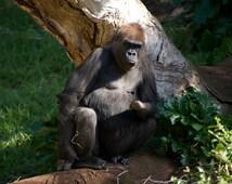 Gorilla - Grumpy