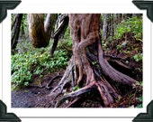 "Blank Greeting Card, Photograph: ""Old Growth"""