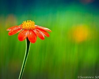 Daisy Flower Photo, Orange Green, Mexican Sunflower, Summer, Nature Photography, Fine Art Print, Cheerful Bright Bold, Happy Home Decor