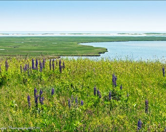Fort Hill Eastham Cape Cod National Seashore Lupines 8x12 Fine Art Print Wall Hanging Home Decor