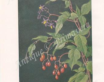 1919 Bittersweet nightshade, Blue bindweed - Solanum dulcamara and Marsh Skullcap - Scutellaria galericulata Antique Coloured Plate