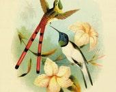 Hummingbirds art Vintage Bird Print Nature art print Vintage prints home decor wall art old prints Natural History Victorian art bird decor