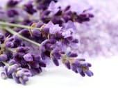 350 Lavender seeds organic non gmo garden flower aromatic Lavandula spica