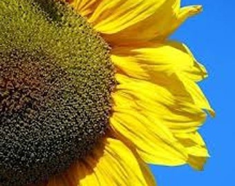 Helianthus giant seeds,19, Helios seeds, sun flower seeds, iliosporos, summer flower,gardening