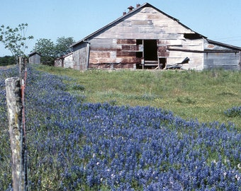 Bluebonnets, Bluebonnets and Barn, Texas Bluebonnets, Field of Bluebonnets, Spring Flowers, Flowers in Texas, Wildflower, Wall Photo Decor