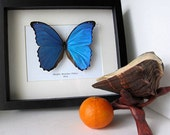 Giant Morpho Didius Real Butterfly From Peru In Shadowbox
