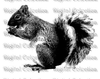 Squirrel Engraving. Squirrel PNG. Squirrel Prints. Squirrel Images. Squirrel Pictures. Squirrel Art Clipart. Squirrel Drawings. No. 0028.