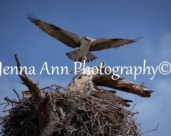 Osprey...digital photo