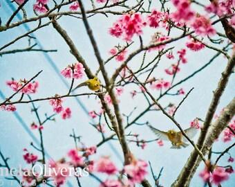 Japanese photography, bird photos, okinawa japan, sakura photos, cherry blossom photos, Fine art print, art photography, 4x6, 5x7, wall art