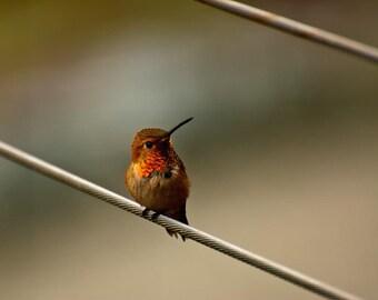 THE NATURE COLLECTION, hummingbird photograph, rufous, orange, yellow, gold, green, bird, wire, summer, spring, animal