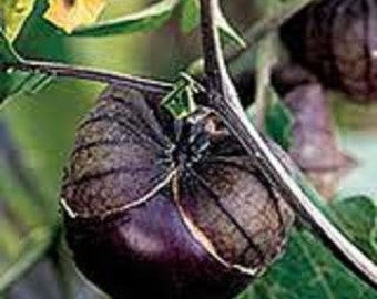 Tomatillo Plant, Purple Blush Organic