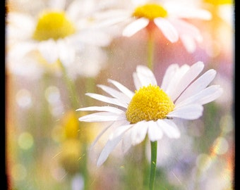 Nature Photography, Oxeye, Daisies, Wild, Flowers, Sunny, Ttv, Vintage, Retro.