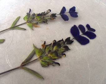 Dried Pressed Flowers / Botanicals. Wild sage, Salvia Viridis stems.