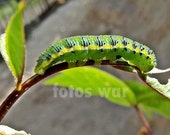 "Photo Print 5""x7"" or 8""x10"" Green Caterpillar in Macro - CaptadoPorMiLente"