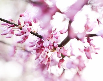 Redbud Blossoms Fine Art Photography Print - Spring, Floral, Nature Photography