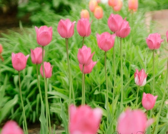 Think Spring Pink Tulips 8x10 photograph print