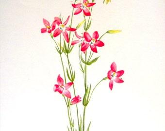 Flower Print - Pink Centaury, Bogbean - 2 Sided - 1950's Vintage Botanical Illustration Book Page