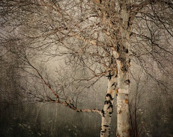 Birch tree landscape photography nature winter snow office decor home decor Fine Art Photograph