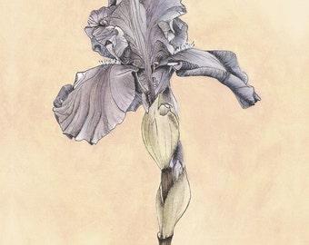 Iris Botanical Print - Purple Iris Flower Illustration Art Vintage Look 8x10