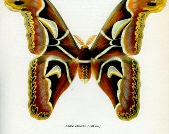 Vintage Moth Print, (69) Edwards Atlas Moth, Prochazka, 1966, Butterfly, Lepidoptera, Natural History, Frameable Art