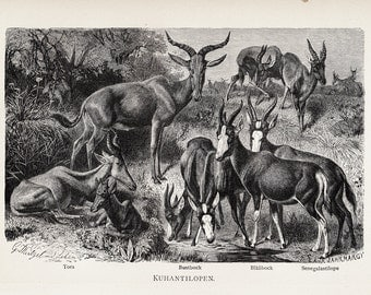 1890 Antique HARTEBEEST engraving, grassland antelopes, 122 years old gorgeous print