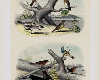 1881 antique BIRDS of NORTH AMERICA lithograph, small songbirds of country  and river, 131 years old gorgeous largue print.