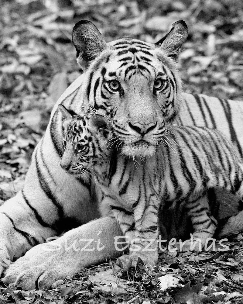 Black And White Baby Cheetah Photography Baby tiger and mom photo 8 xBaby Cheetah Clipart Black And White